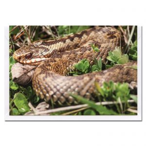 adder snake photo greetings card