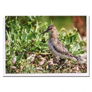 dunlin photo greetings card