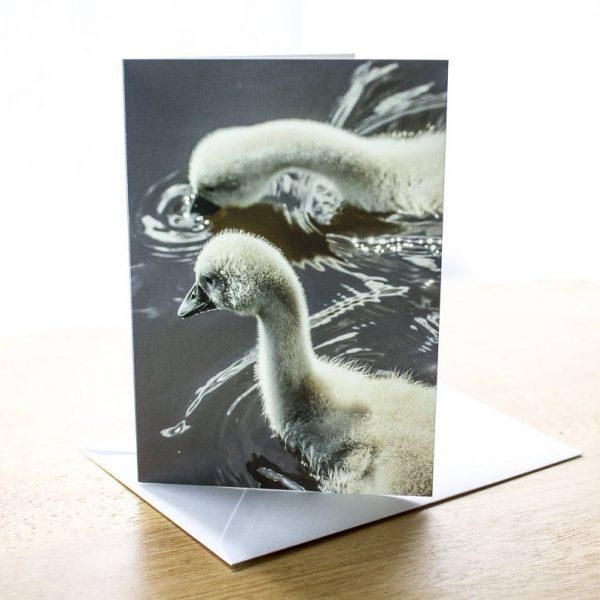 swan cygnets photo greetings card