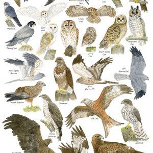 A3-poster-birds-of-prey