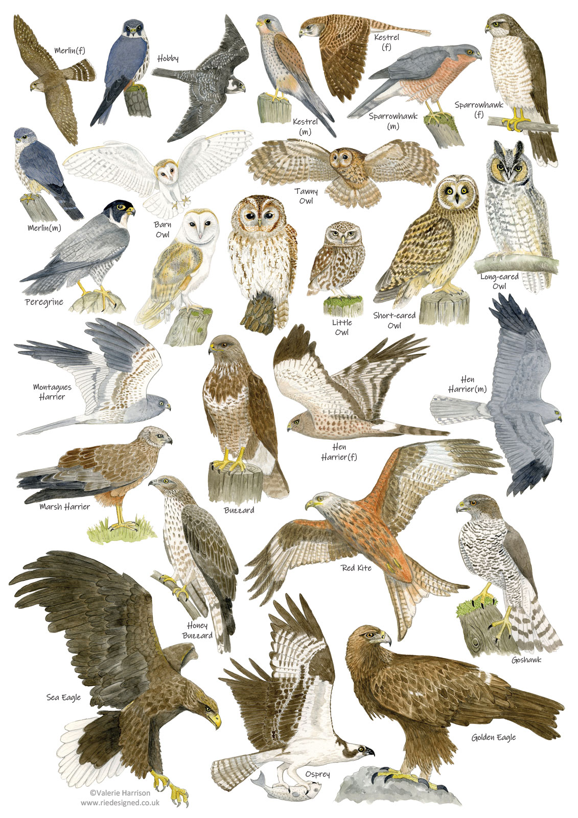 British Birds Of Prey And Owls Identification A3 Poster Art Print