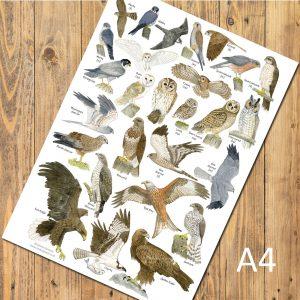A4-Birds-of-prey-poster