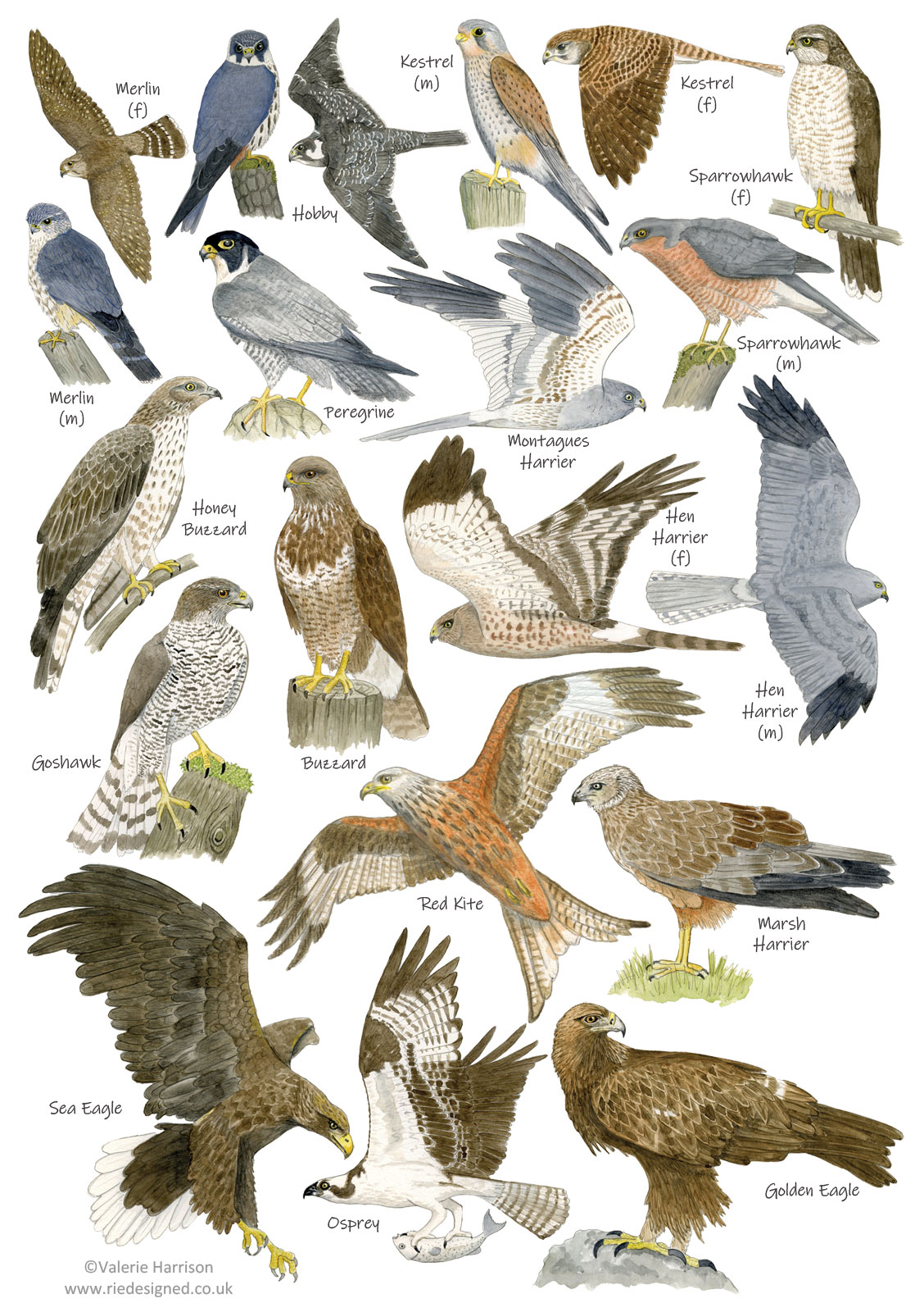 British Birds Of Prey Identification A5 Card Postcard Art Print