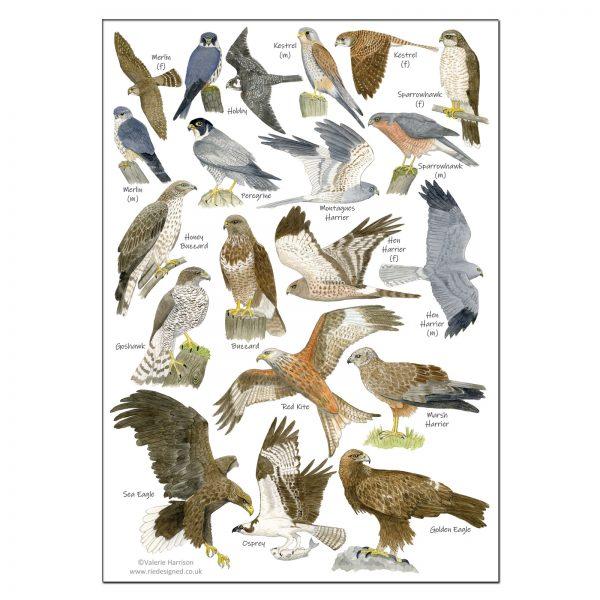 A5-Birds-of-prey-poster