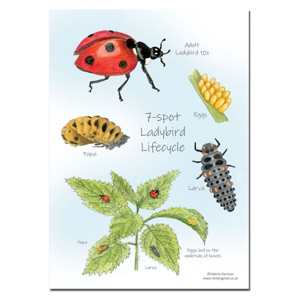 7-spot Ladybird Lifecycle Chart