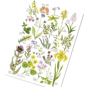 A5-heath-and-bog-Flowers